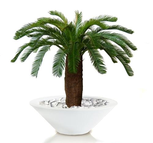 Cycas Palm 160 cm Green